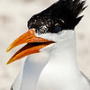 Portrait of a Royal Tern