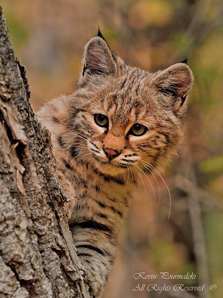 Bobcat Kitten. Northern Montana.