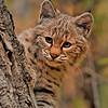 Bobcat Kitten. Northern Montana.