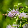 Bee and Hummingbird Moth