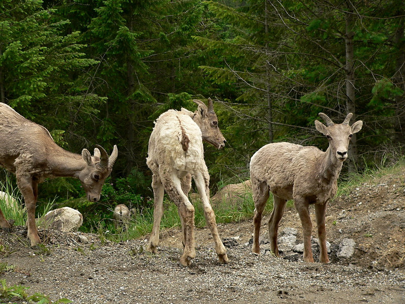 Butt... butt... Butt... watcha lookin' at?<br /> <br /> Big Horn Mountain Sheep near Golden, BC.  These three were just being kids while the rest of the herd browsed below.<br /> <br /> 2006-06-11<br /> <br /> .