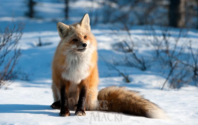 Red fox thinking