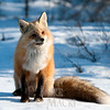 Red fox thinking