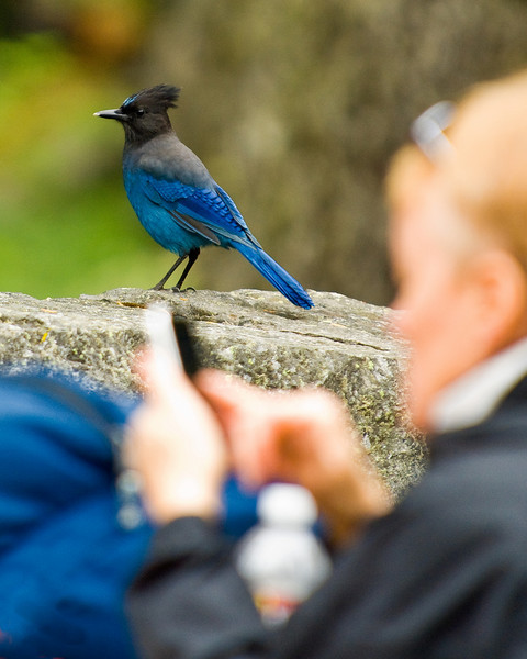 A Stellar's Jay hangs out in a picnic area in Mount Rainier National park while a visitor interacts with his cell phone.