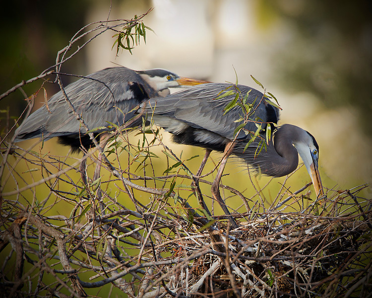 Pair of Great BLue Heron..<br /> Getting their nest ready....