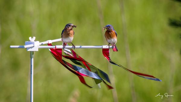 Bluebird Parents
