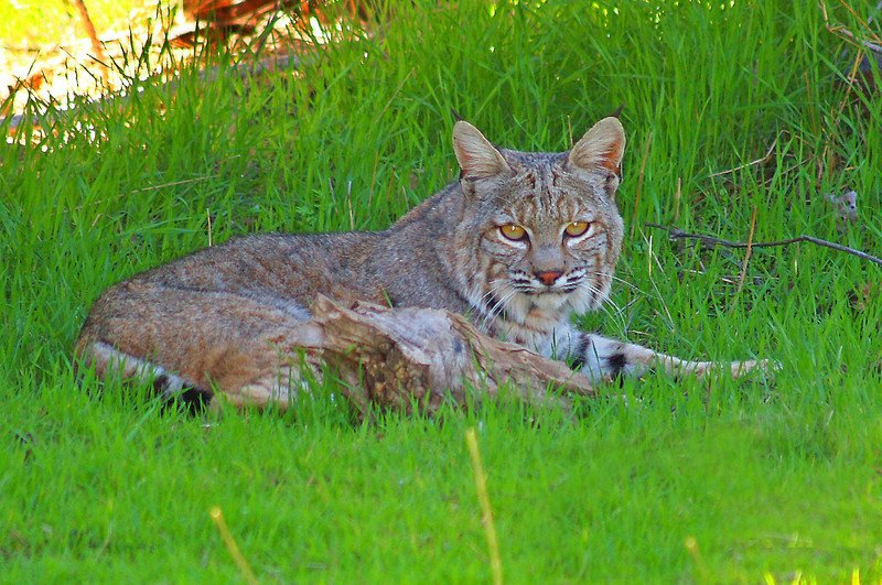 Bobcat taken in San Benito County.