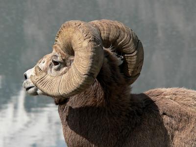 Bighorn Sheep, Ram #2  Jasper 2007-06-01  .
