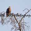 A bald eagle perched atop dead branches at the top of a tree.