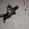 She's about 11-12 weeks old. This biggest challenge was hand holding the camera and the string toy at the same time.