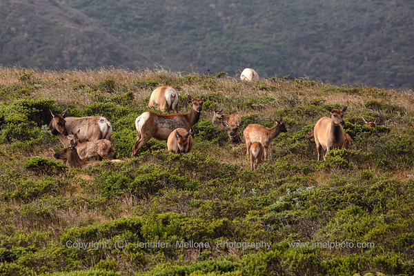 Herd of Elk on the Hill