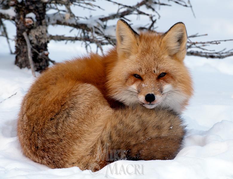 Red fox, winter coat