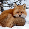 Red fox, winter coat