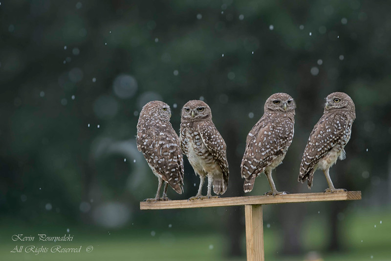 Burrowing owls caught in soft rain . South Florida