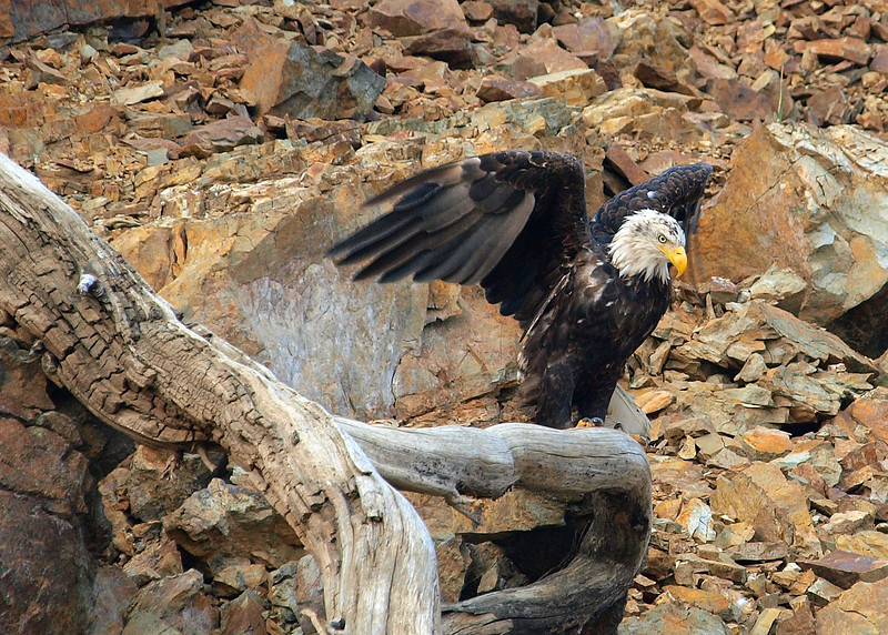 Bald Eagle. Trinity Lake. Northern CA.