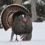 Wild Turkey 04