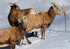 Colorado Mountain Sheep in winter near Ouray COlorado