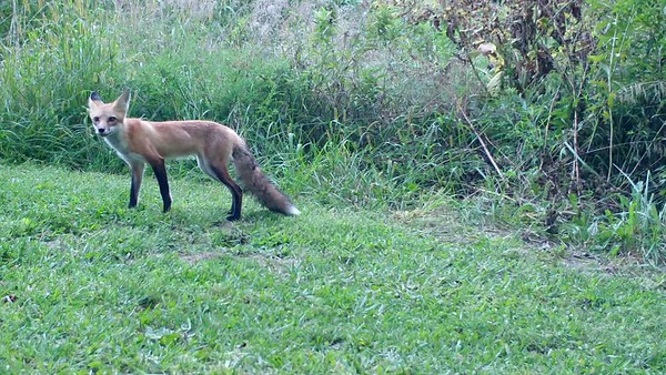 Red Fox video clips from August 2017