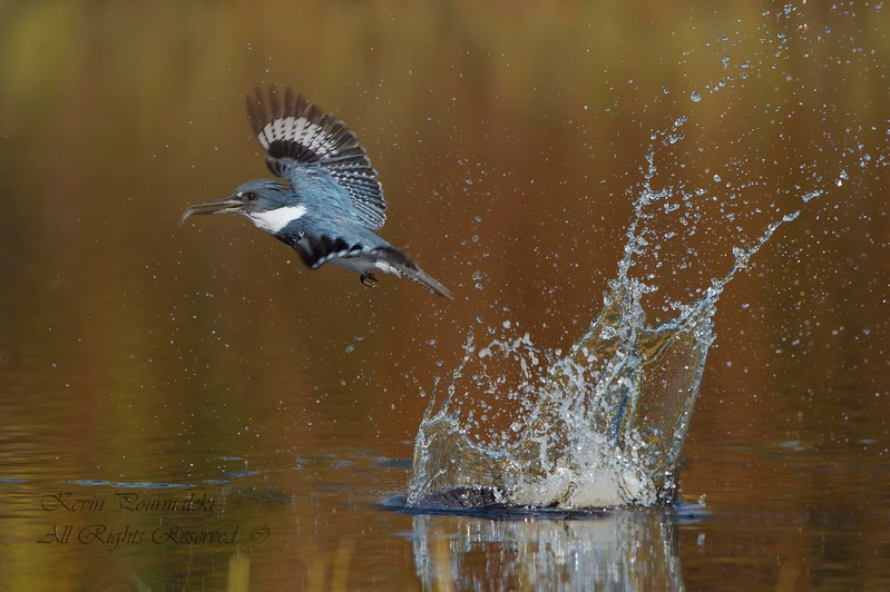 Belted kingfisher, Central Florida