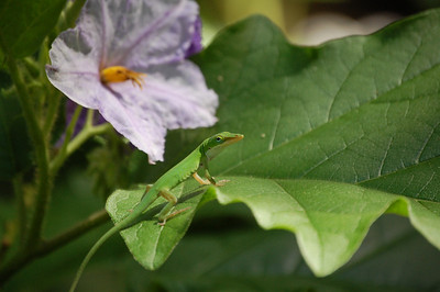 I spotted this lizard or Anole while looking at the flowers. It posed for a few minutes before moving on.