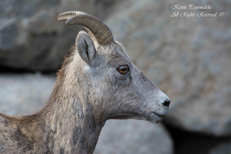 Juvenile Bighorn Sheep.  Yellow Stone National Park, Montana.