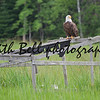 A Bald Eagle sits on an old abandoned duck blind in the middle of a wild rice field.