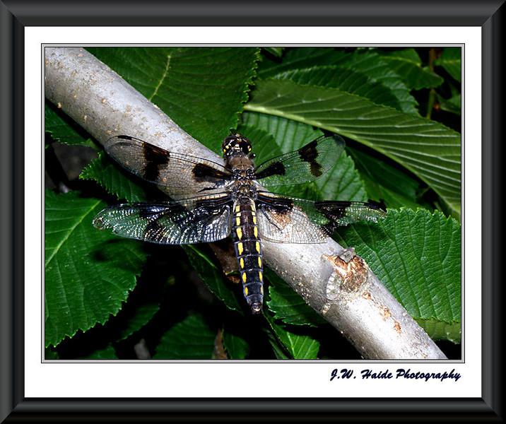Dragonfly in my yard in Hillsboro, Oregon