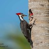 Pileated woodpecker with chick.  South Florida.