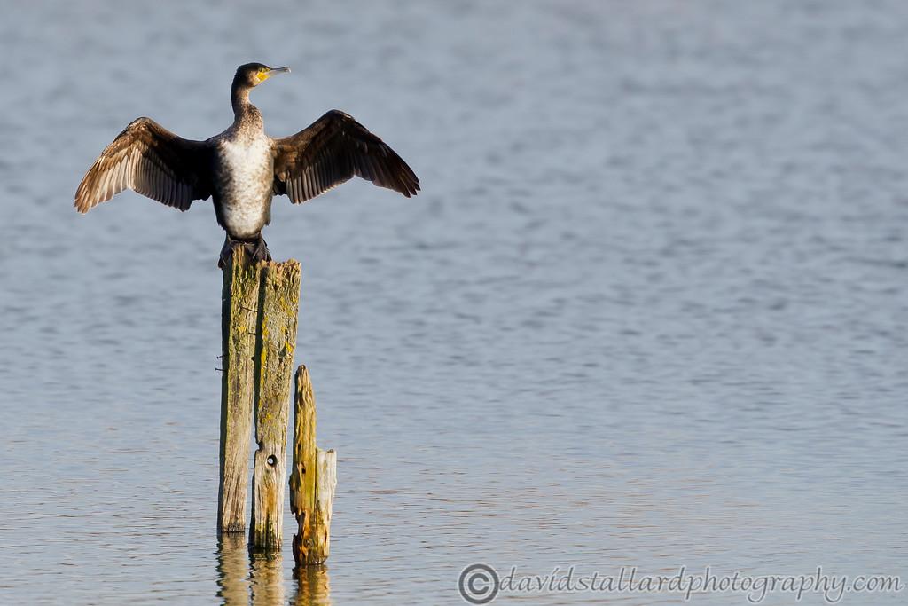 IMAGE: http://www.davidstallardphotography.com/Animals/Wildlife/i-PCxbW4k/0/XL/Heybridge%20Basin%2014-12-14%20%20012-XL.jpg