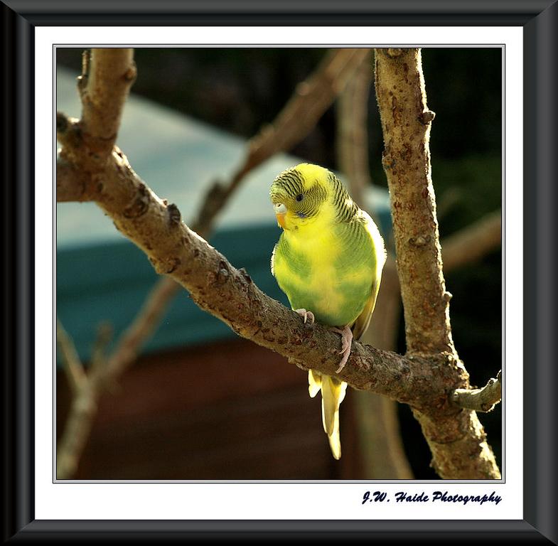 Lost Parakeet in my back yard in Hillsboro, Oregon