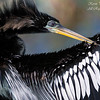 Anhinga.  Everglades National Park, South Florida.