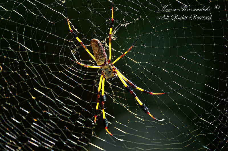 Golden Silk Spider. South Florida.