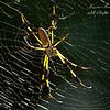 Golden Silk Spider. South Florida.