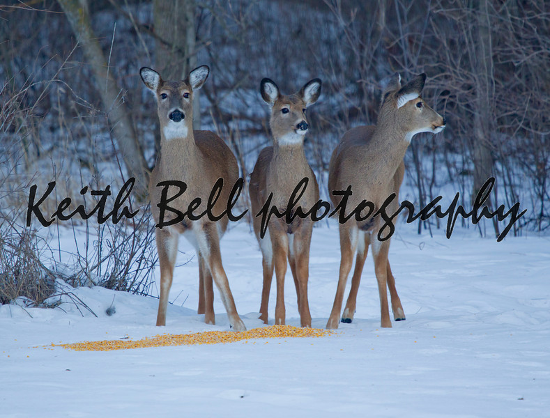 Three deer on alert while eating corn in the Wisconsin winter.  A doe and two fawns.