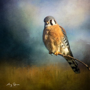 Yesterday I photographed my first ever Kestrel.  I had been trying to for years, so I was pretty excited!  The sky in the photo however was just too blue, too boring.  Thanks to textures by the amazing Jai Johnson I was able to turn the photo into a piece of fine art photography.