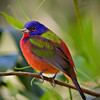 Painted Bunting, FL