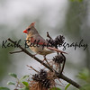 Female Cardinal on Pine Branch