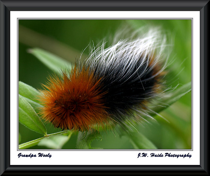 Wooly Bear Catarpillar at the Tulatin River National Wildlife Refuge in Sherwood, Oregon