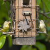 Birds on a Feeder
