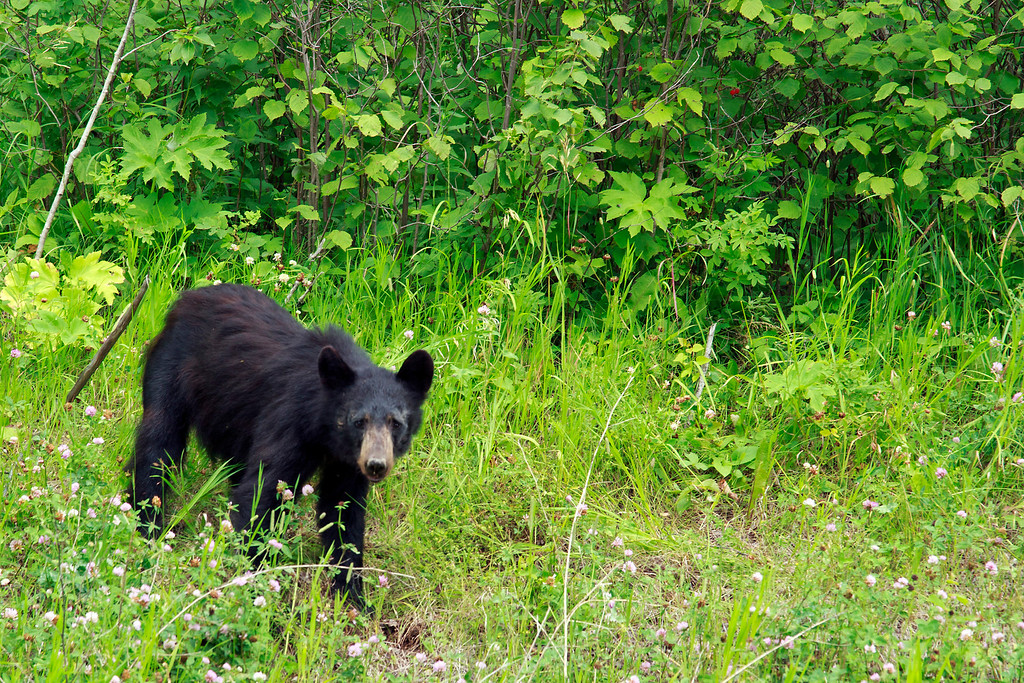 Not sure what this black bear was enjoying but it wasn't too bothered by my presence and went right back to enjoying it's meal.