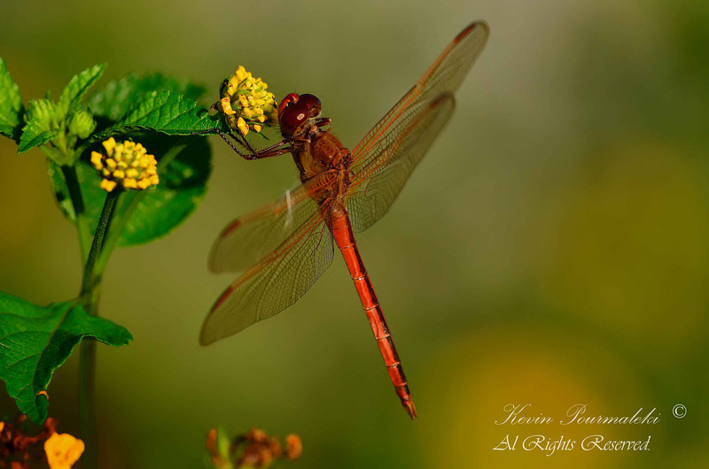 Meadowhawk Dragonfly.  Chapel Trail Reserve, South Florida.