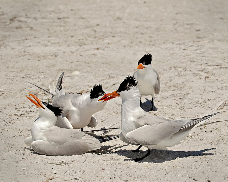 Royal Tern fight