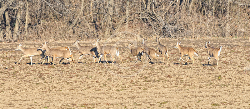 Whitetail Deer scattering