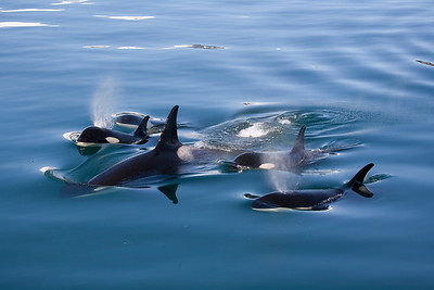 Pod of Orcas surfacing in the calm waters of the Kenai Fjords National Park in Alaska