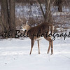 A three point Whitetail Deer buck standing in the snow on Wisconsin winter day.