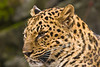 Closeup of an Amur Leopard at the Oregon Zoo, Portland, Oregon