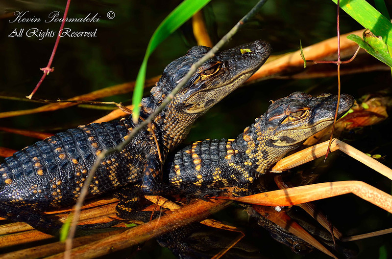 Baby Alligators, Shark Valley, Everglades National Park, South Florida.