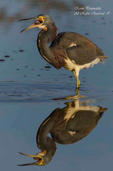 Tri Color Heron swallowing a fish.  Everglades Nation Park, South Florida.