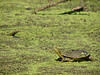 Another PAINTED TURTLE sunning on top of some Duckweed at ELM CREEK PARK RESERVE