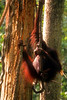 Orangutang hang on vine in Sepilok Orangutang Sanctuary Sabah Maylasia